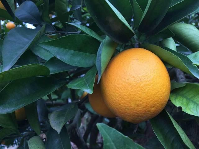 老家湖北的橙子熟了_老家湖北宜昌的橙子熟了